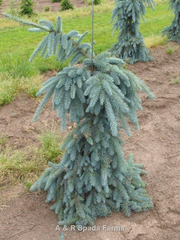 Picea Pungens The Blues Whole Nursery Supplies Plant Growers In Oregon