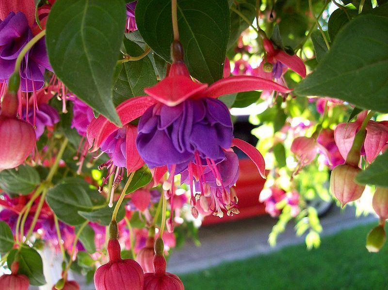 File Blue Eyes Fuchsia Jpg Wikipedia The Free Encyclopedia Unusual Flowers Most Beautiful Flowers Beautiful Flowers