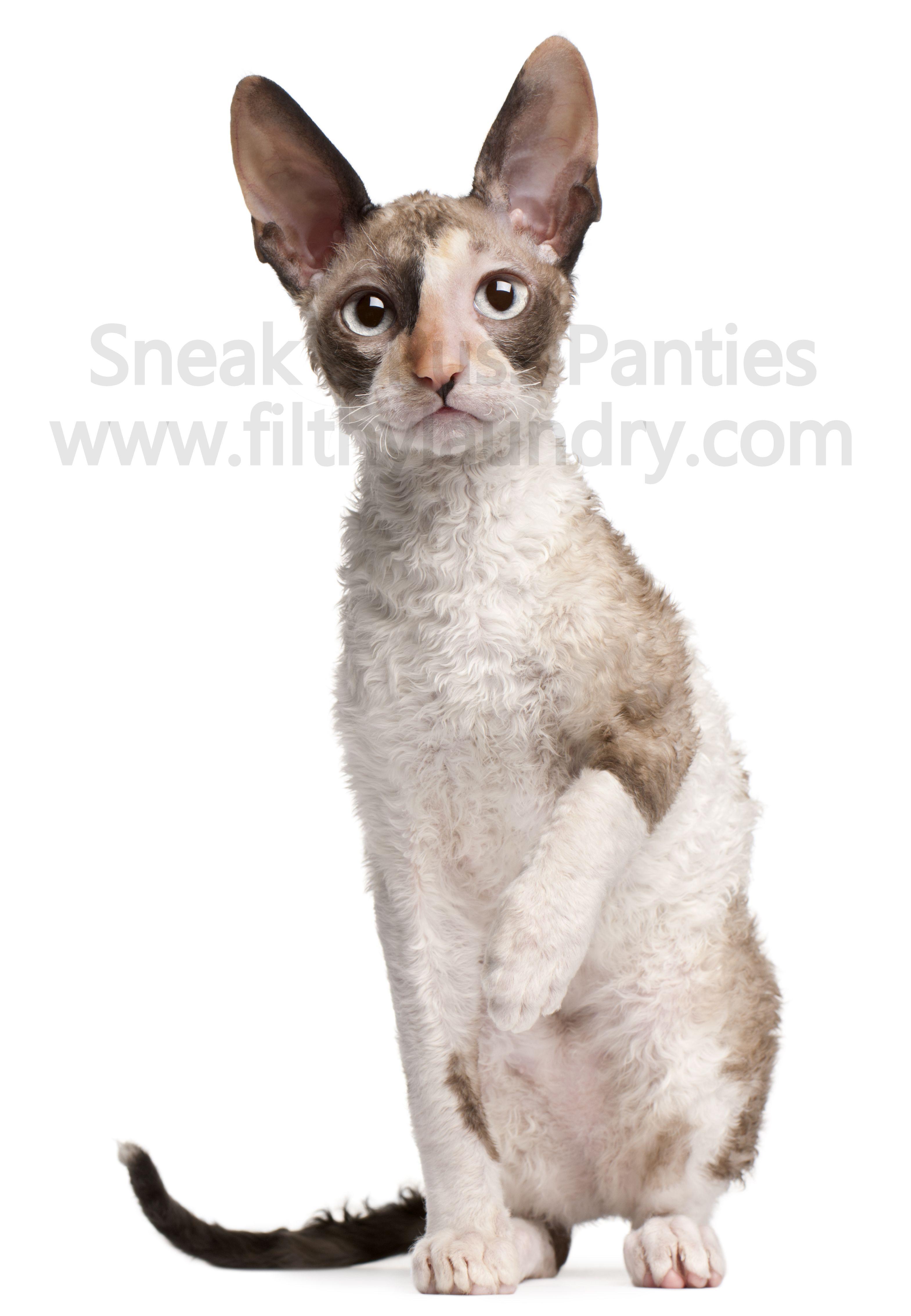 Cornish Rex Kitten Female For Adoption Friendly Exotic Pets