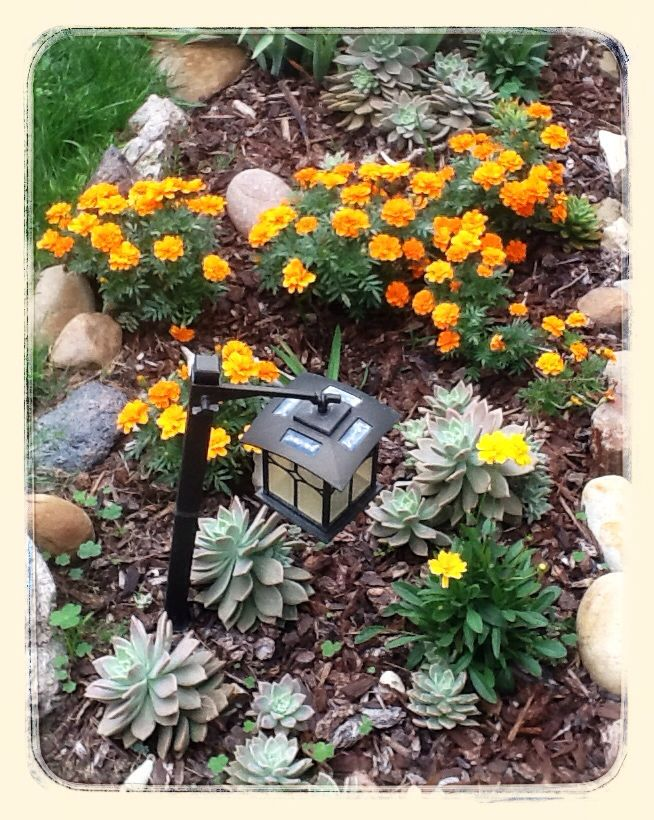 Marigolds....and xeriscape.