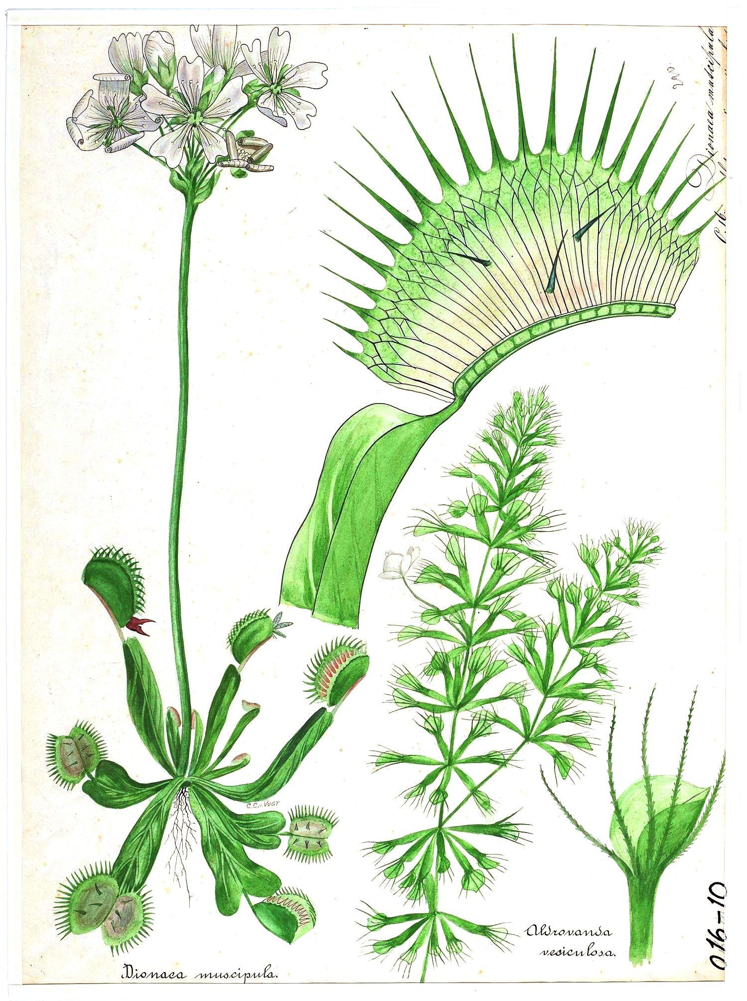 The venus flytrap dionaea muscipula is a carnivorous plant that the venus flytrap dionaea muscipula is a carnivorous plant that catches and digests animal ccuart Choice Image