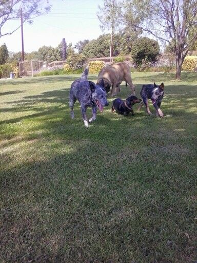 Another heeler that I  rescued, he's very smart!  But the boss is in the middle!!! Lol.