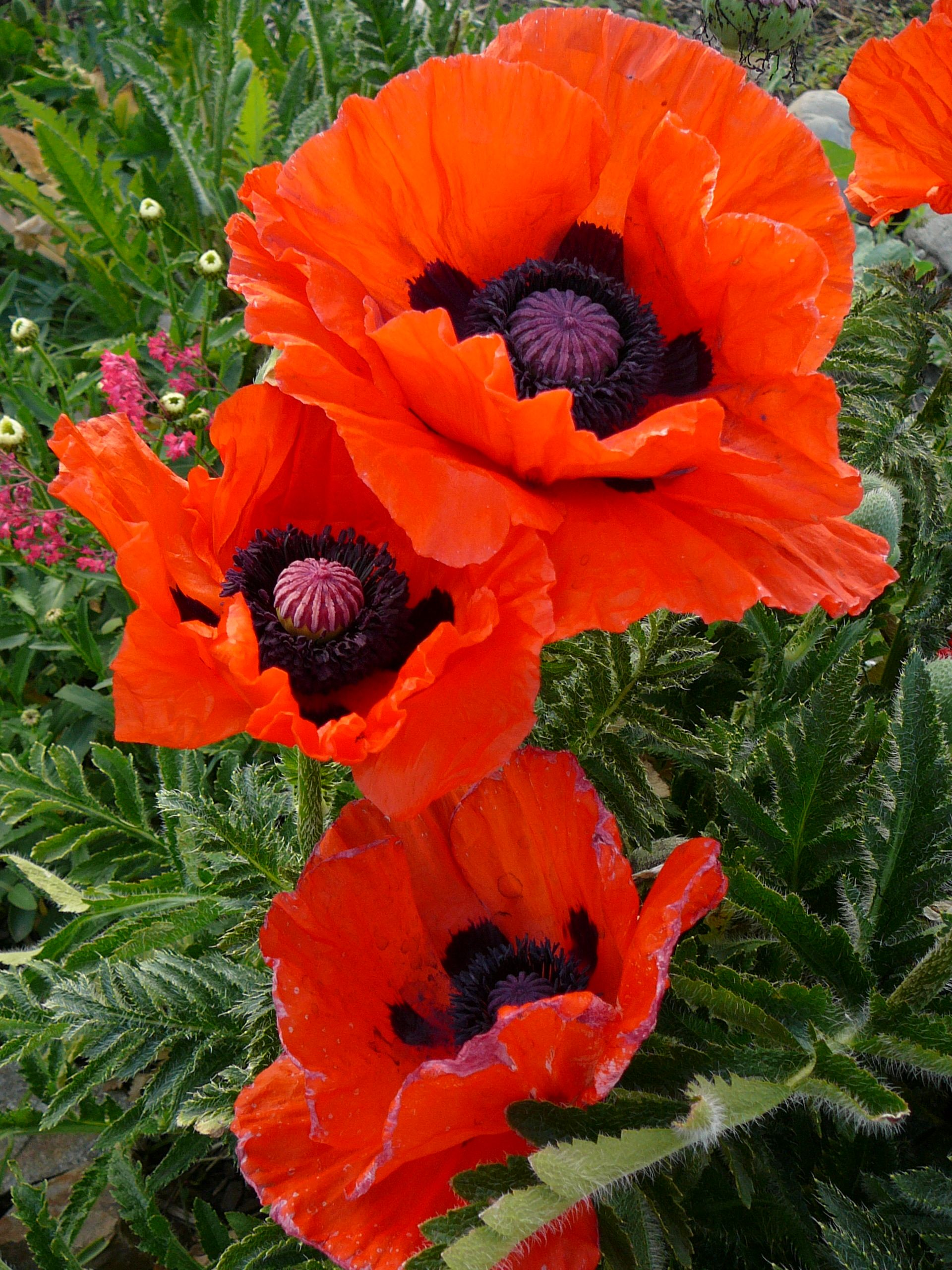 Coquelicot The Wild Corn Poppy How Well Does My Garden Grow