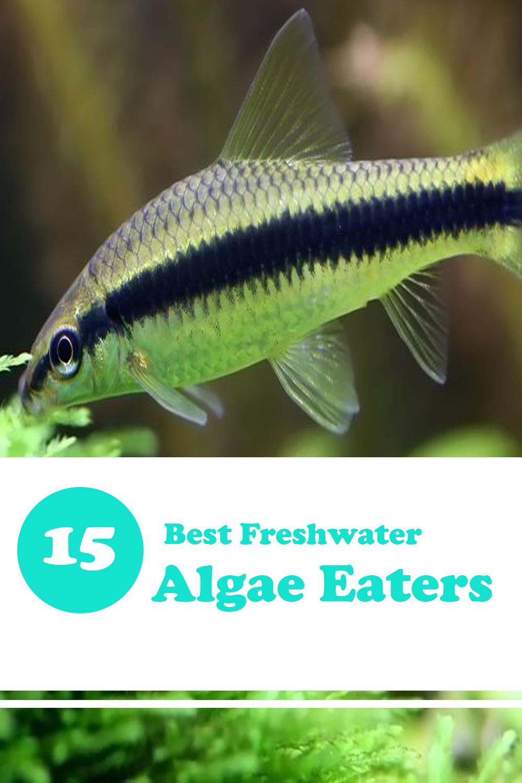 Best Algae Eaters For Freshwater Planted Tank Expert Aquarist Freshwater Aquarium Fish Tropical Freshwater Fish Aquarium Fish