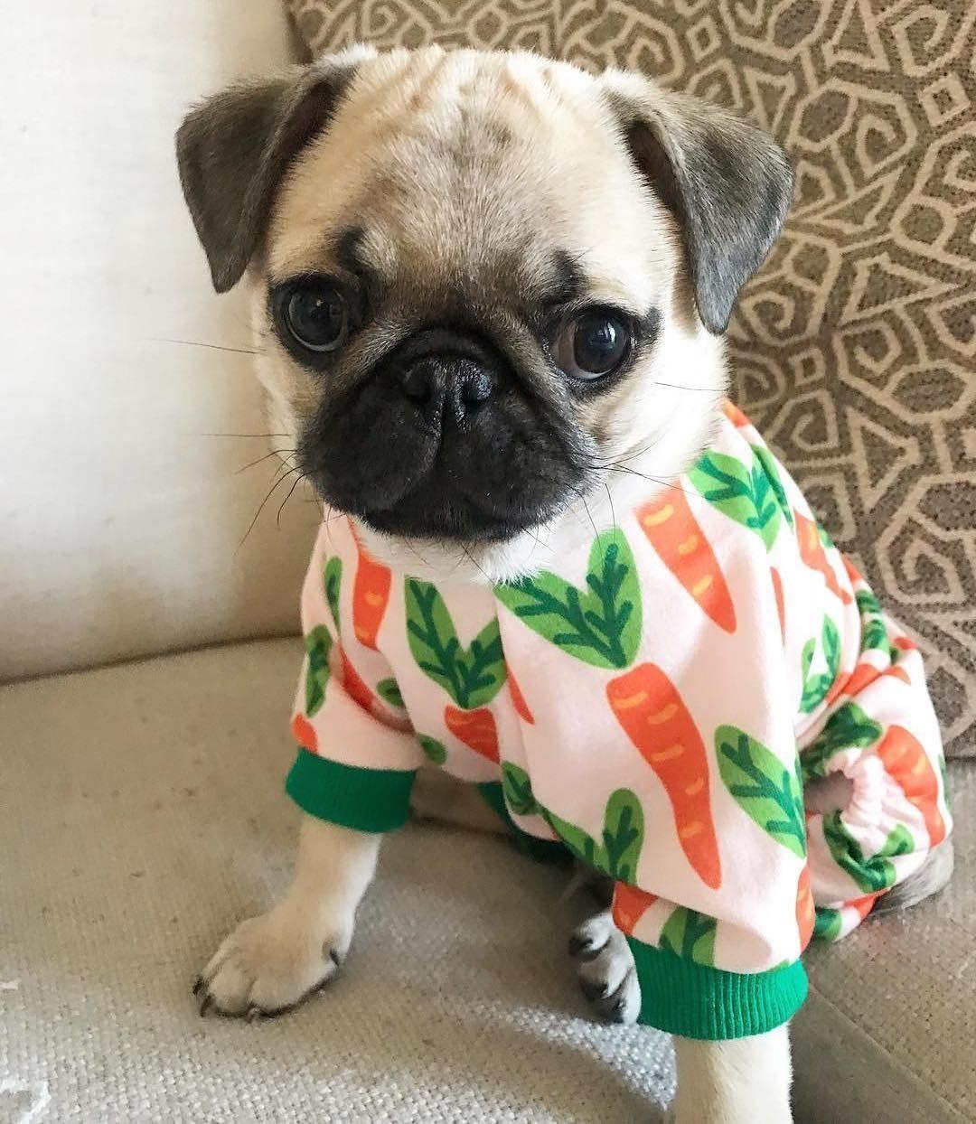 Puggy In Pajamas Pug Puglia Pugs Pugsofinstagram