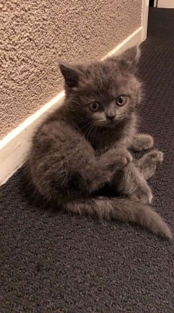 My Friends 8 Week Old British Shorthair Kitten Cute Cats Hq Pictures Of Cute Cats And Kittens Free Pictures Of Funny Cats And Photo Of Cute Kittens Cute Cats