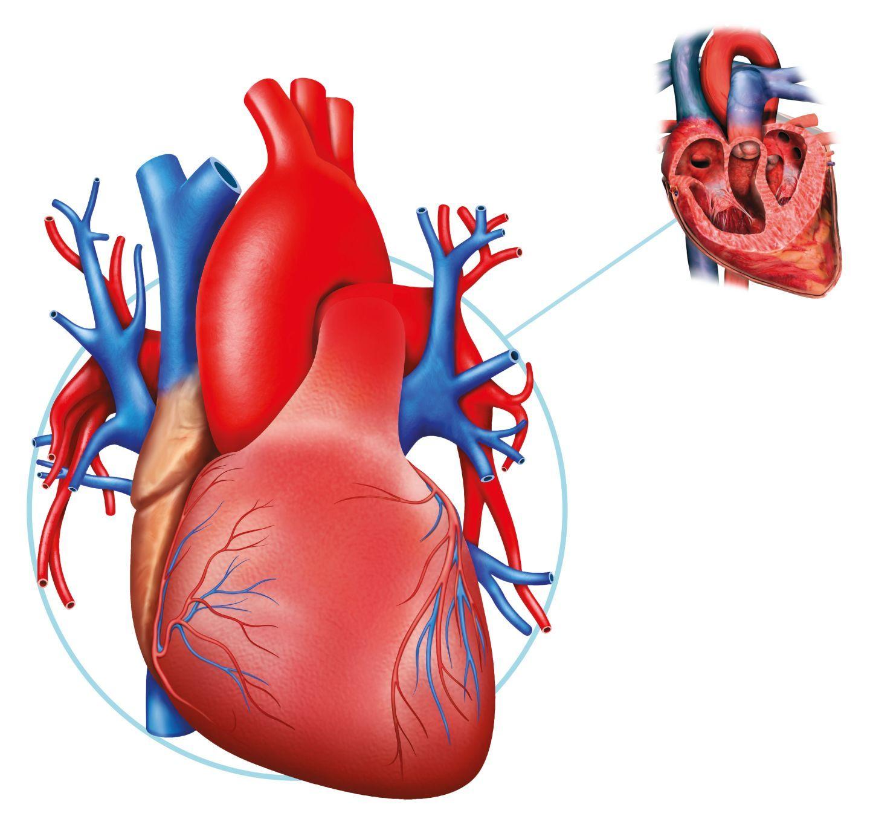желудочек сердца картинка бы, век уже