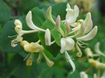 Lonicera Caprifolium,tuoksuköynnöskuusama
