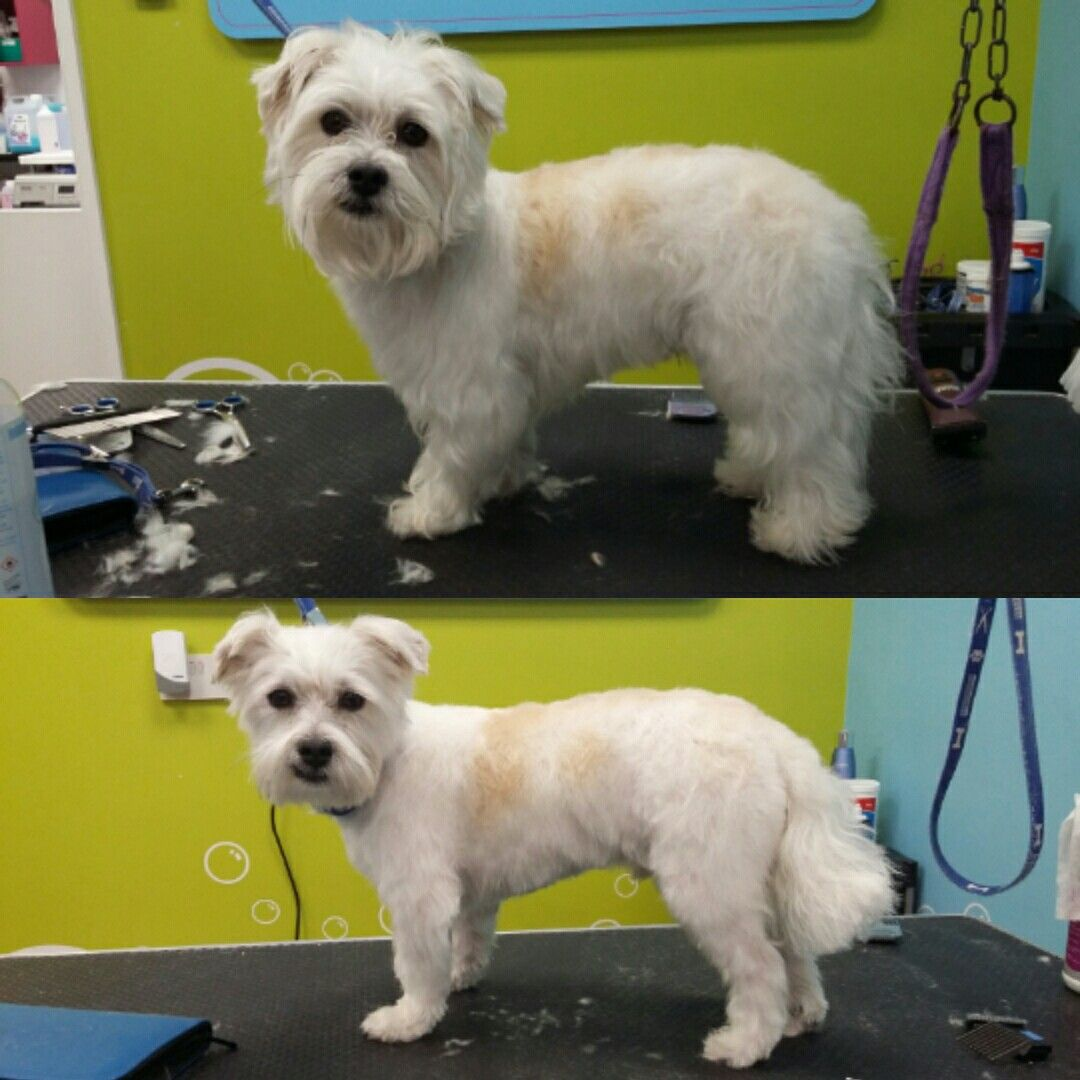 Yorkie Shih Tzu Mix Groomed In A Comb 3 Yorkshire Trim Dog
