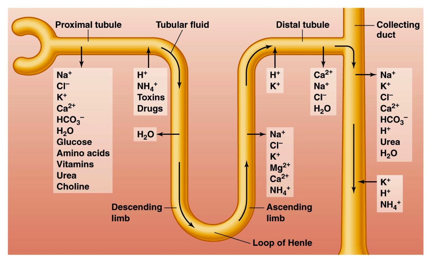 what is the function of proximal and distal tubules - بحث Google ...