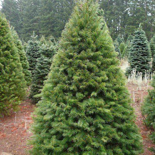 Types Of Fir Trees For Christmas: Douglas Fir Tree Seeds ( Pseudotsuga Menziesii ) 20+Seeds