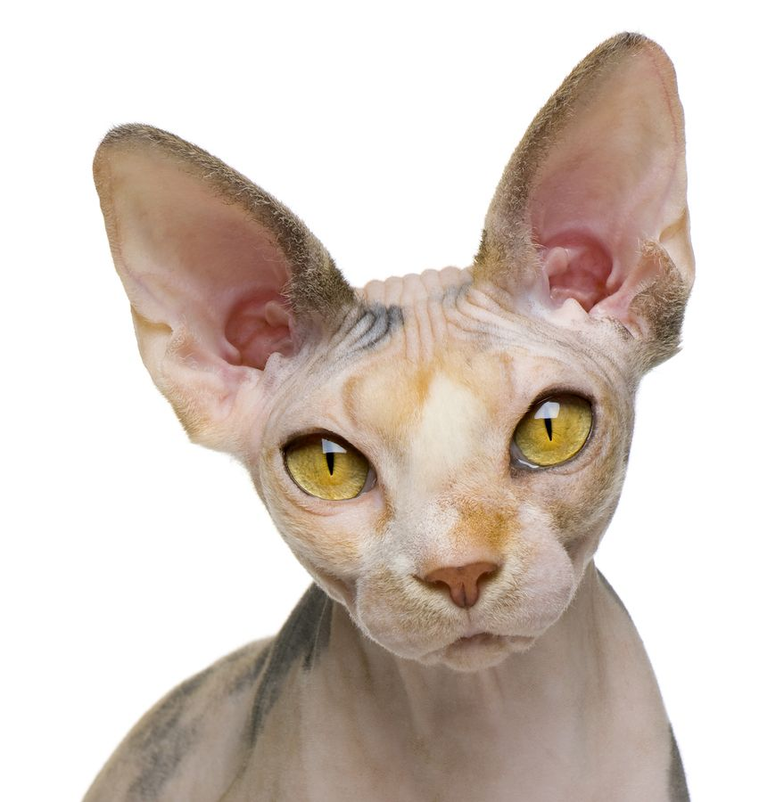About The Sphynx Cat Breed Cat Breeds Sphinx Cat Hairless Cat