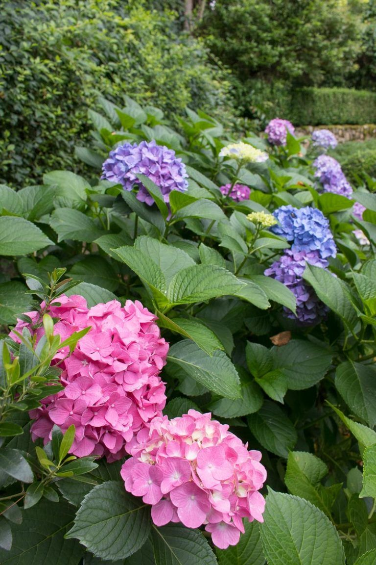 How To Prune Hydrangeas Change Their Color Revive Wilting Blooms Other Tips And Tricks That Will Make You A Hydrangea Boss Driven By Decor Growing Hydrangeas Types Of Hydrangeas