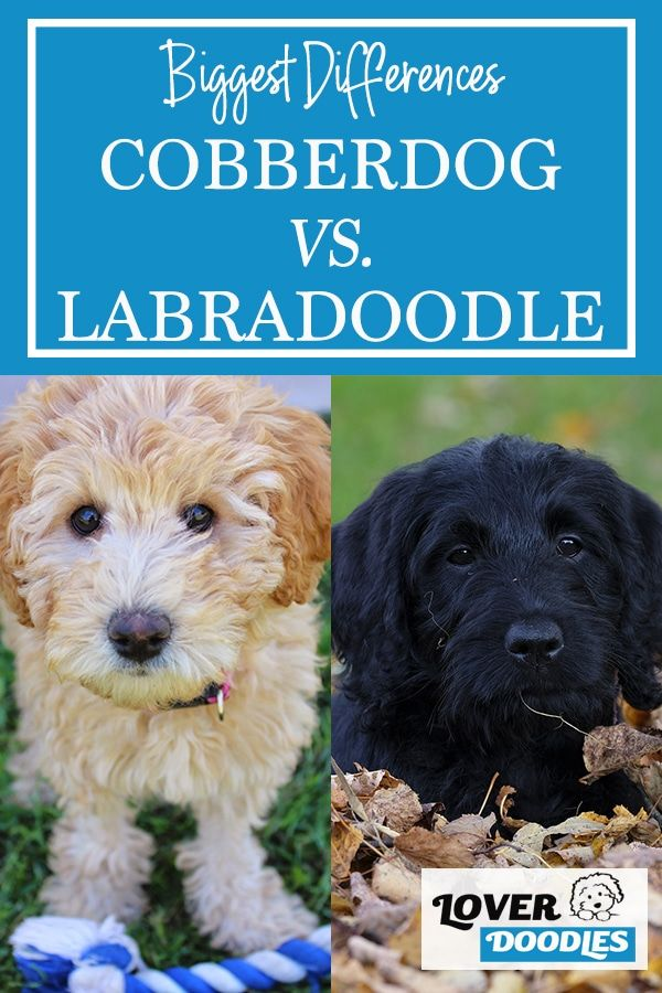 Australian Cobberdog Vs Labradoodle Which Is Better In 2020 Doodle Dog Breeds Labradoodle Puppy Facts