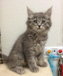 Patron Is An Adoptable Domestic Medium Hair Gray Cat In Chino Hills Ca Adoption Fees Are 125 For Kittens And 1 Grey Cats Kittens Cutest Cats And Kittens