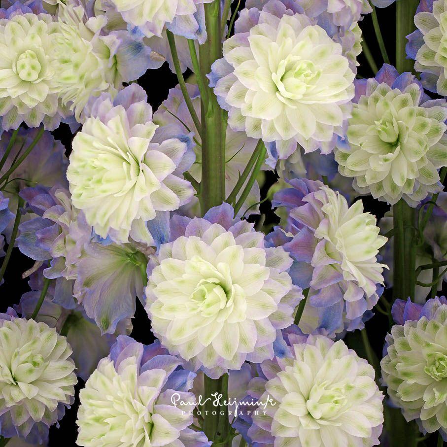Delphinium Highlander Purple Surprise Delphinium Umbel Perennial Plants
