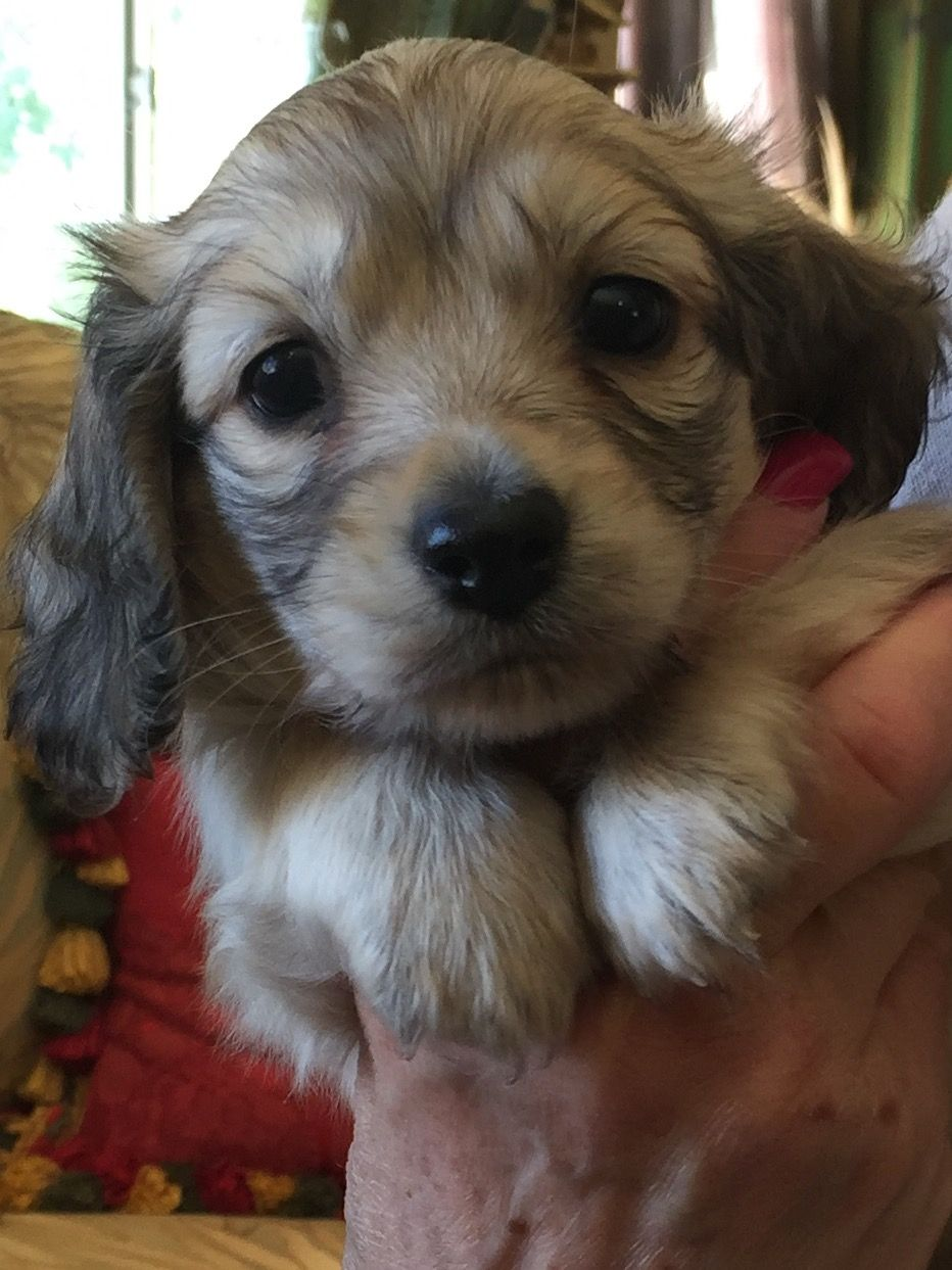 Our New Baby Ernie 5wks Old Today Shaded English Cream Long