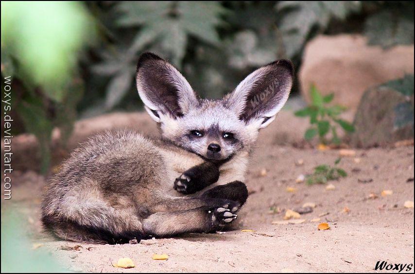 Adorable baby Bat-eared fox, ZOO Prague, Czech republic