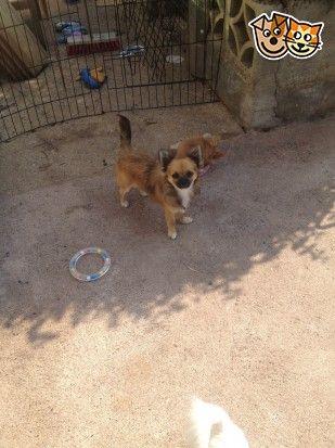 Red Cavapoo Puppies For Sale For Sale In Crediton Devon