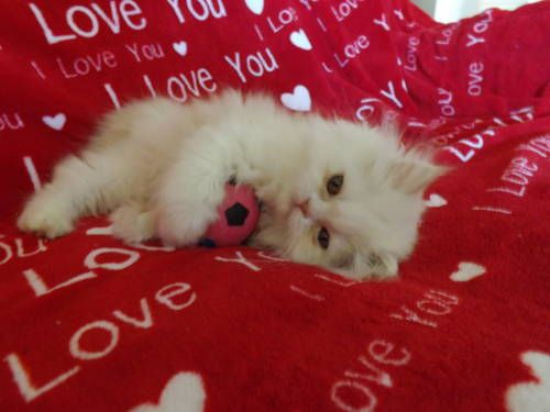 Very Cute Cfa Registered Persian Kittens For Sale Persian