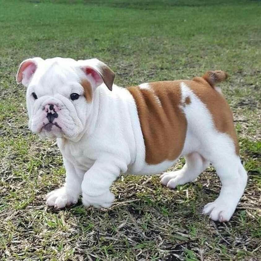 Pin By Sara Fernandez De Yegros On Bulldog Puppies Dog Mama Puppies