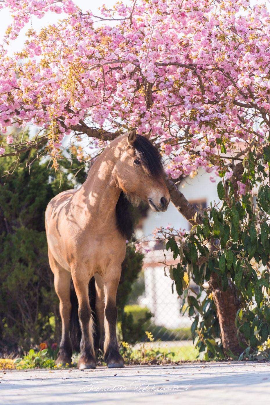 kirschblütenshooting  pferde pferde fotografie pferdefotos