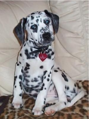 Top 20 Beagle Hybrids Dalmatian Beagle Beagle Puppy