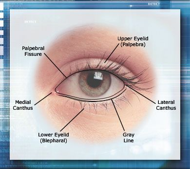Graphic of eyelids with callouts for Upper Eyelid (Palpebra) and ...