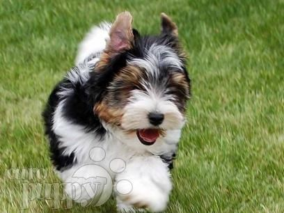 biewer yorkie Google Search Puppies Pinterest