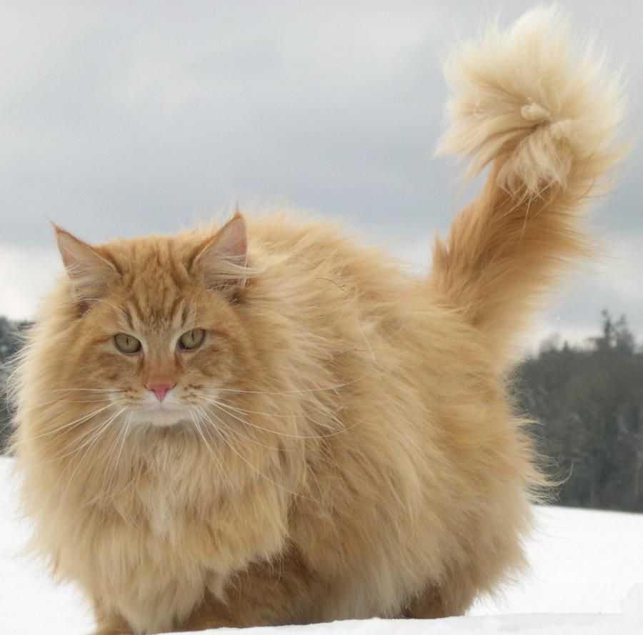 I Want It Norwegian Forest Cat Pinterest Norwegian Forest - 25 of the fluffiest cats ever