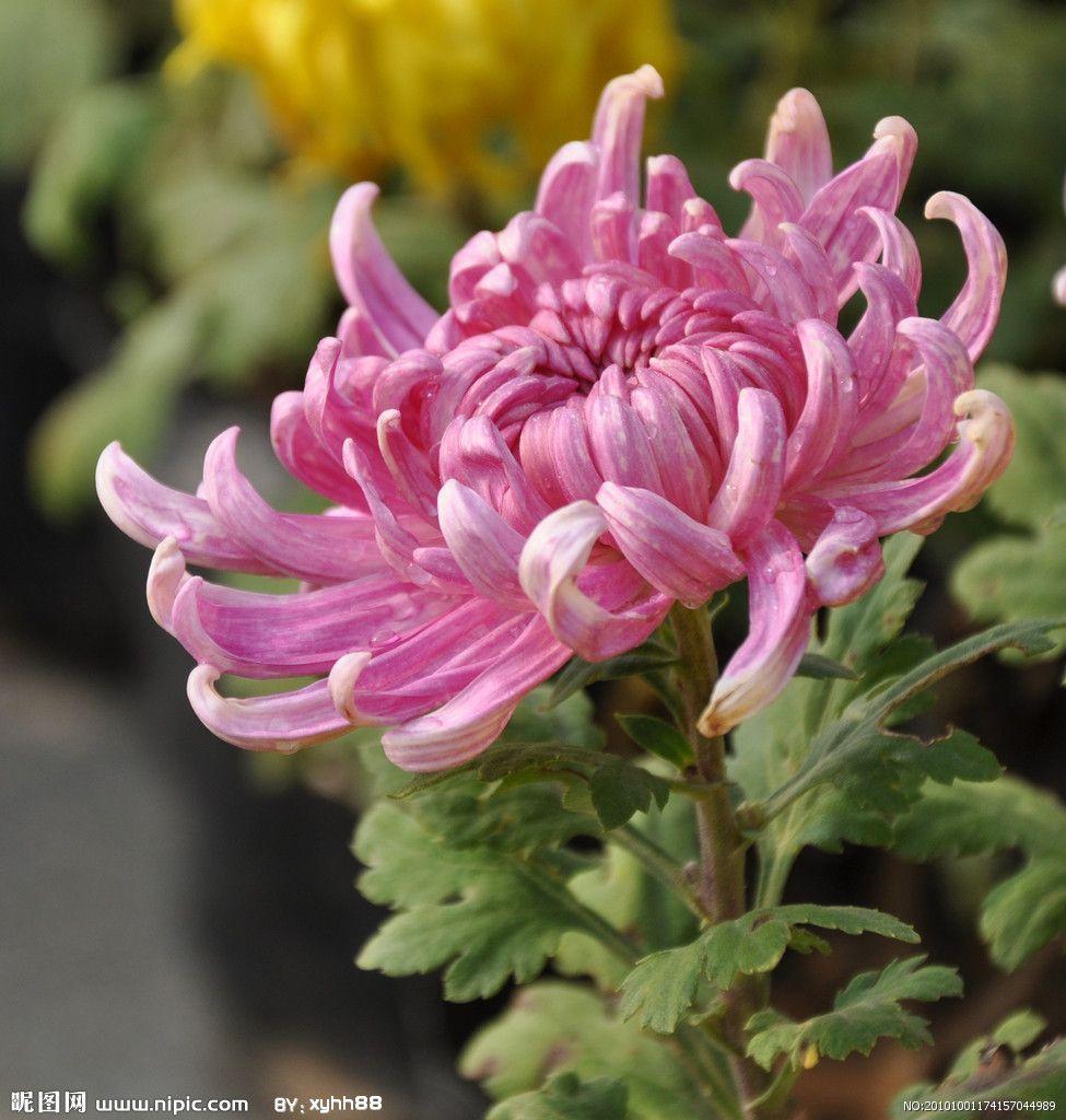 Chrysanthemum chrysanthemums pinterest - Japanische zimmerpflanzen ...