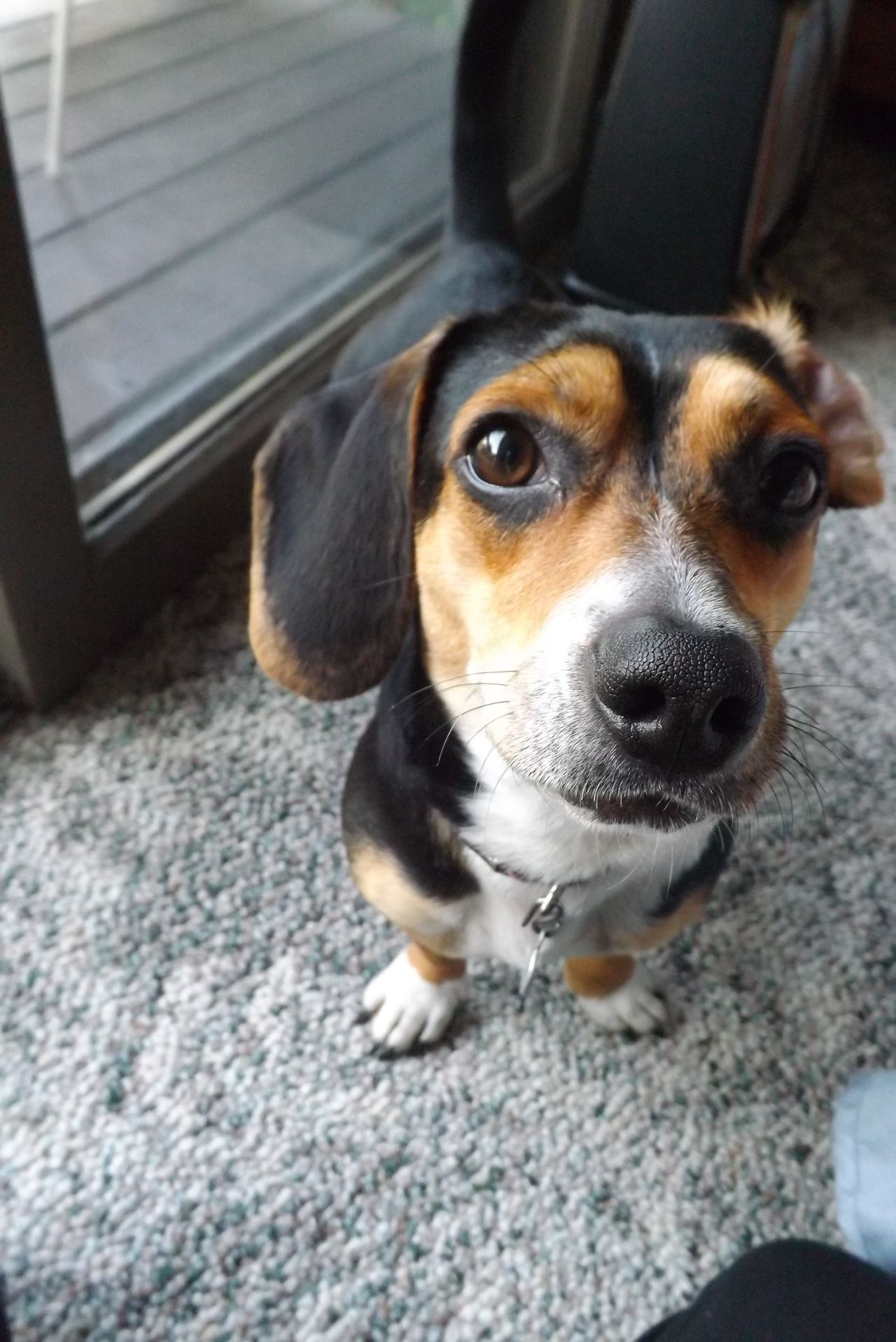 Pin By T Zak On Adorable Animals Beagle Mix Puppies Terrier