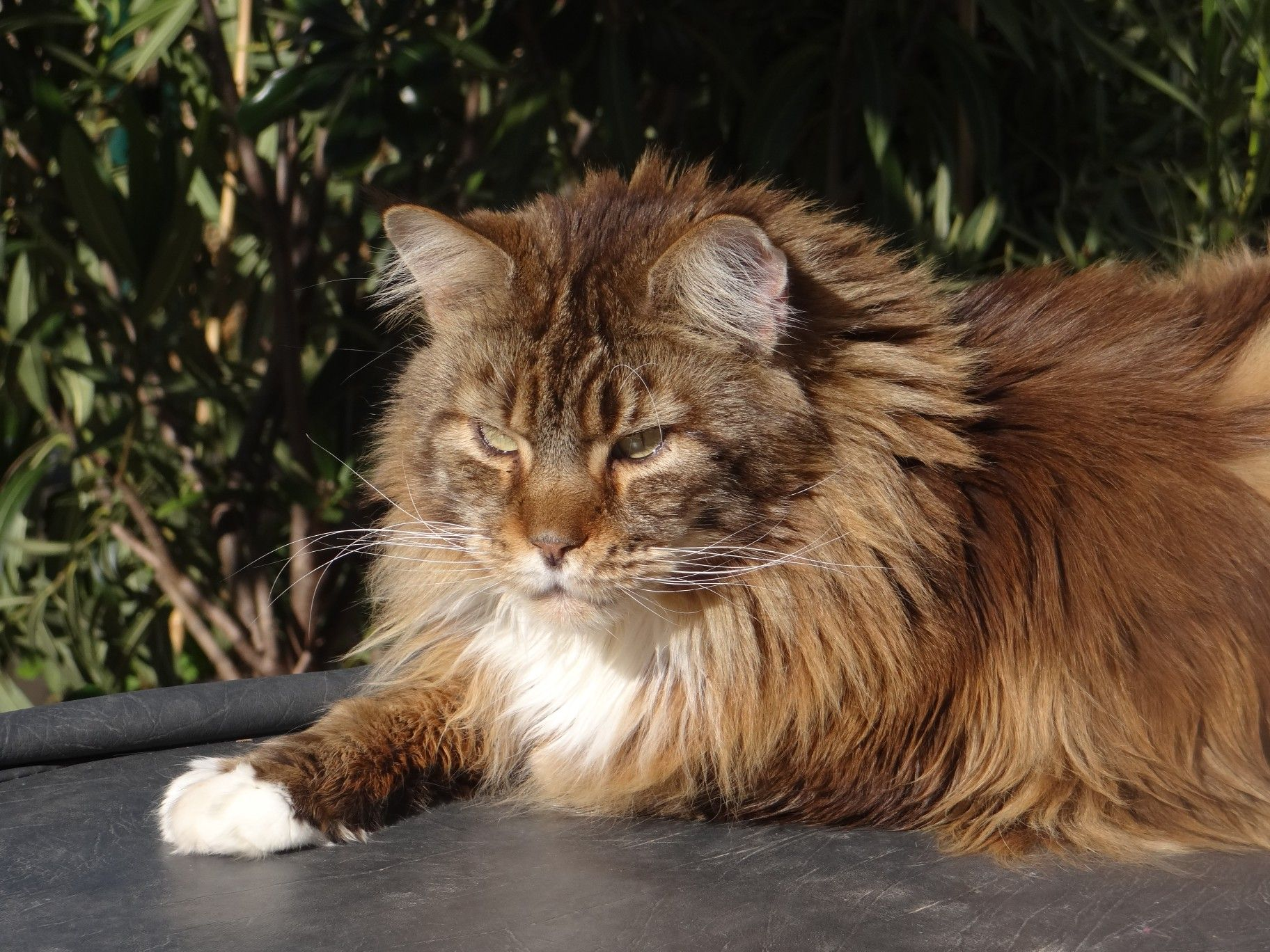 Épinglé sur Beautiful Maine Coon Cats