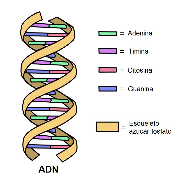 Adn Historia Funciones Estructura Componentes Molecula