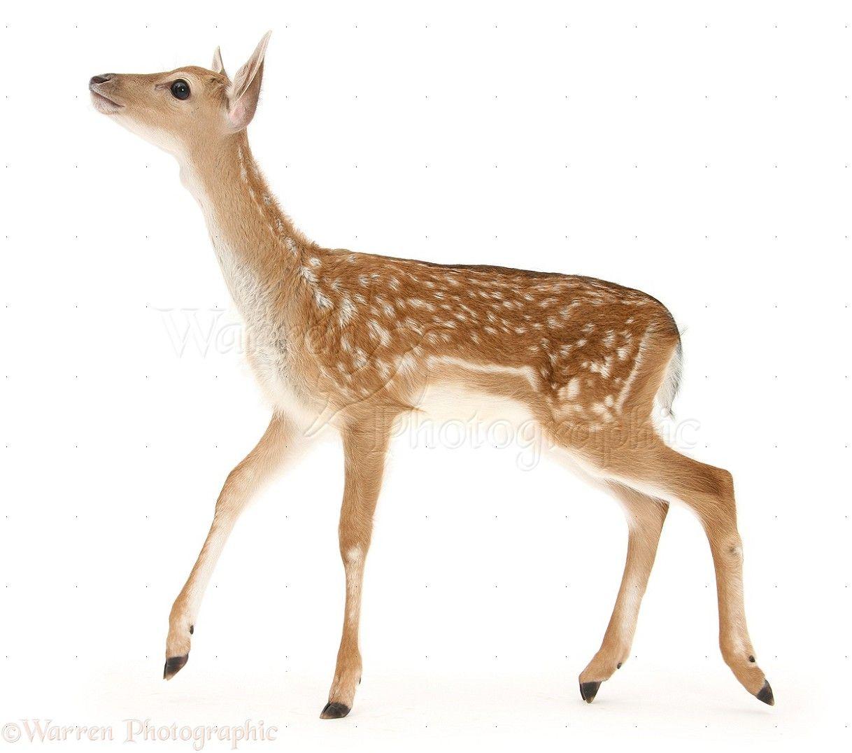 deer - Google Search | Animals | Pinterest | Fallow deer and Animal