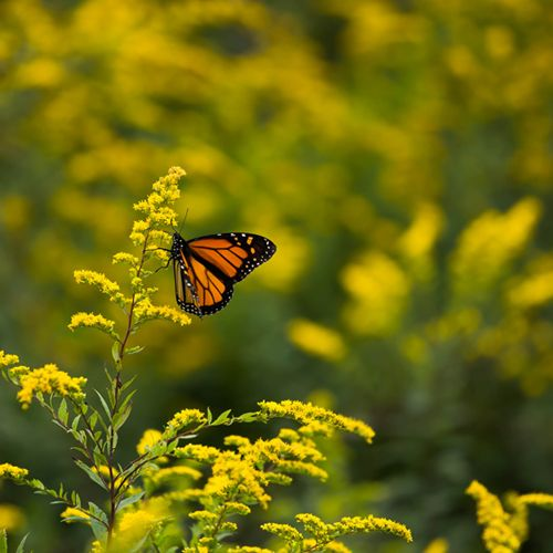Every fall, Monarch butterflies start their epic journey from Canada to Mexico. Travelling at extremely high altitudes, they're rarely seen from the ground, but from mid-September to early October, visitors to North Carolina can catch a glimpse of the migration in the Great Smokey Mountains near Asheville. Via T+L (www.travelandleisure.com).