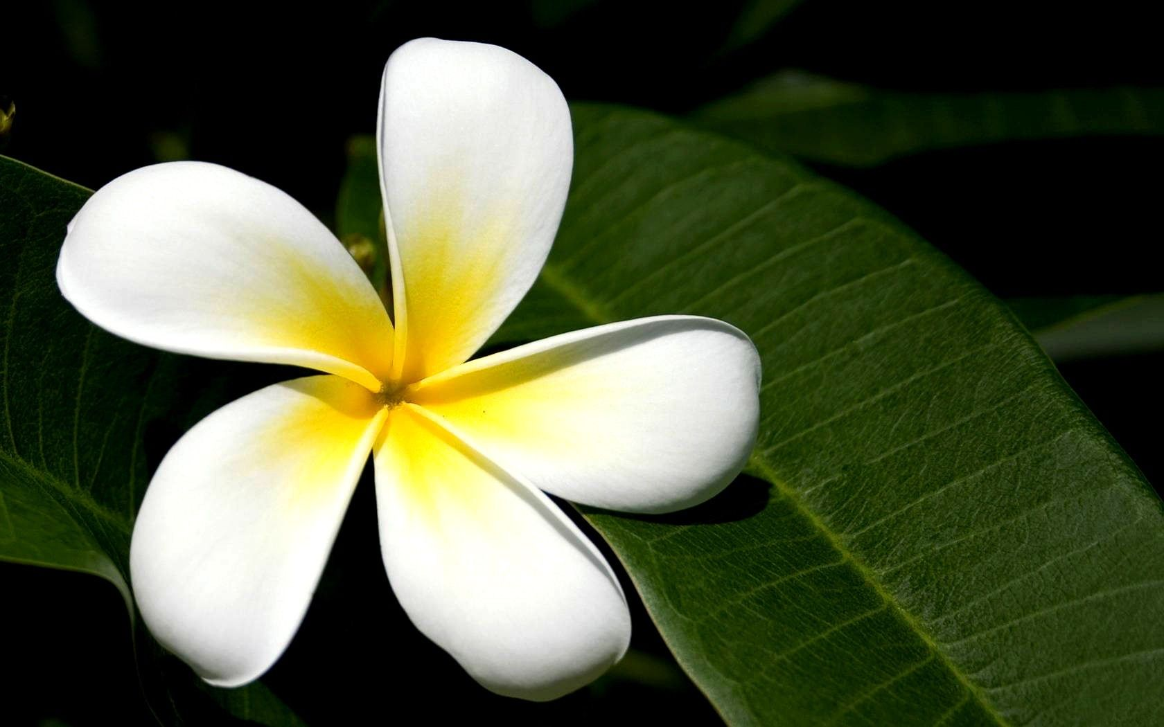 flower of bali art ideas pinterest flower and flower images
