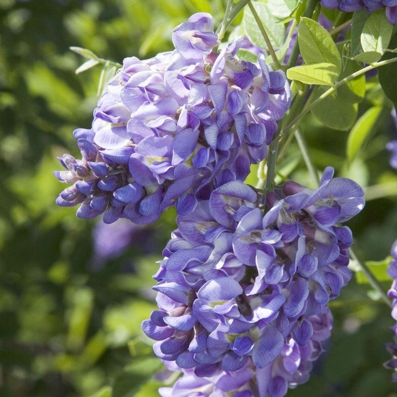 Close up credit richard shiell american wisteria