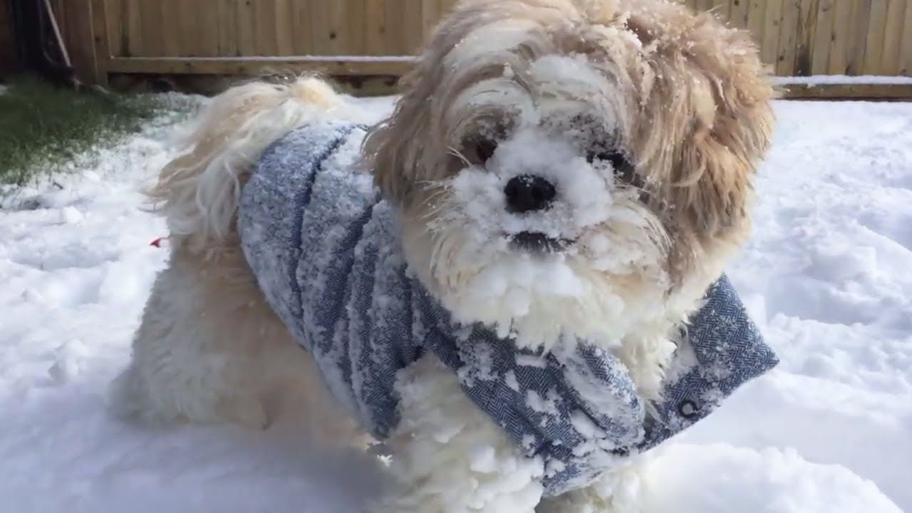What are some good tricks to teach a Shih-Tzu? | Yahoo Answers