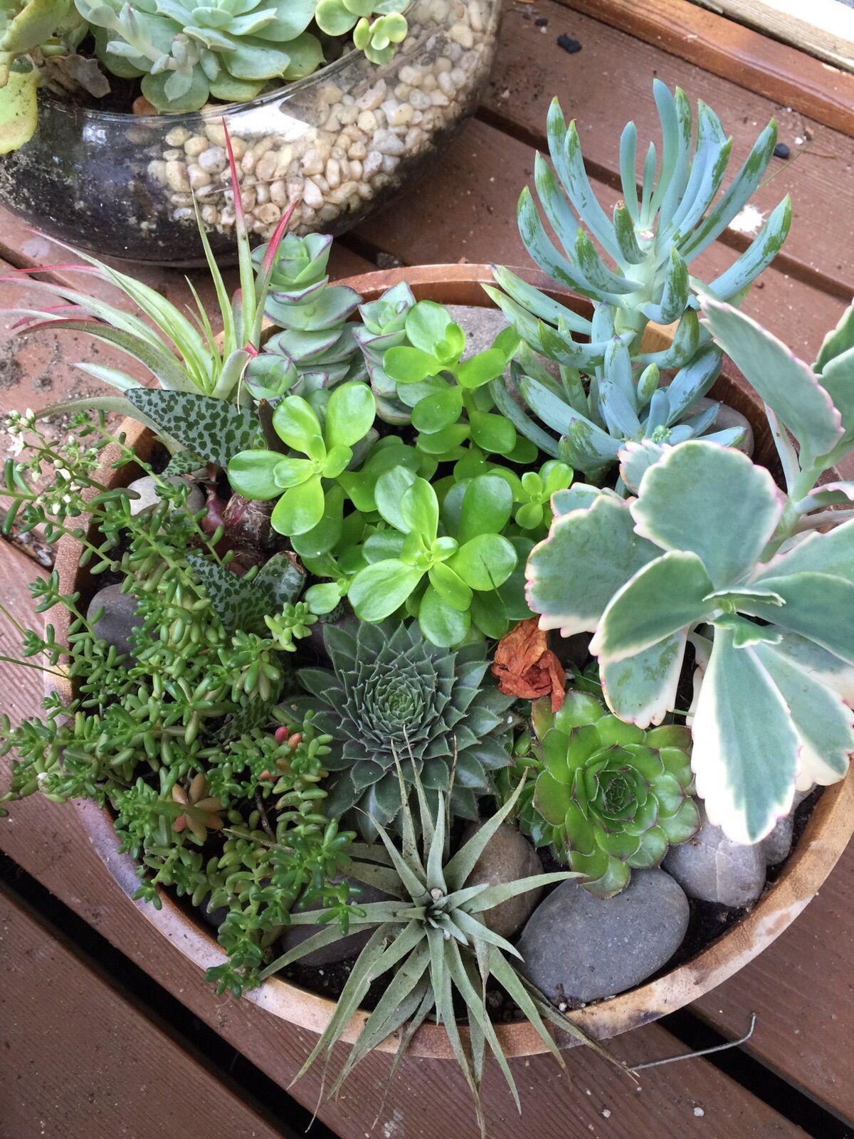 Succulent Pot In A Shallow Wooden Round Container Succulents Succulent Pots Indoor Garden
