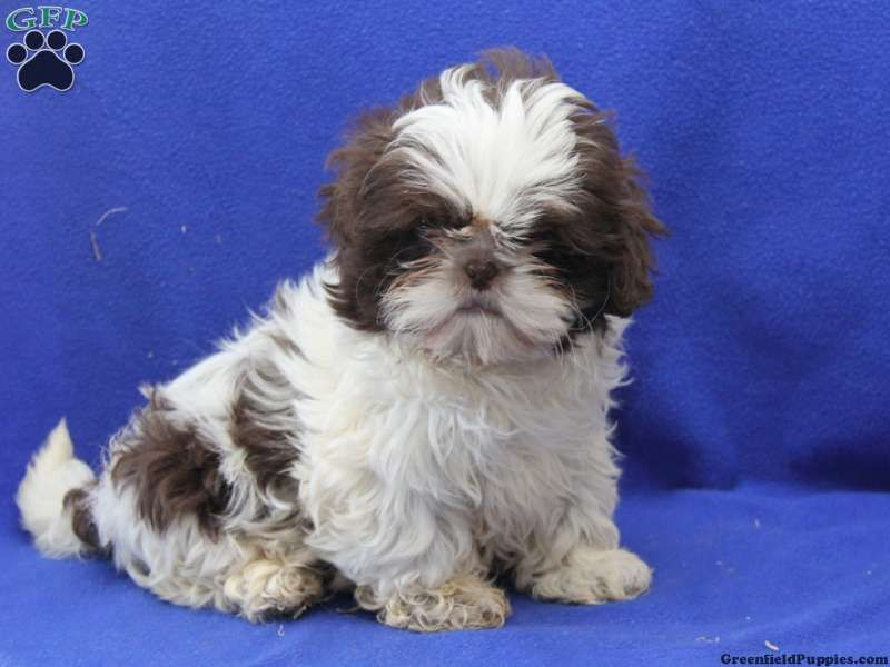 Colby Shih Tzu Puppy For Sale From Honey Brook Pa Shih Tzu