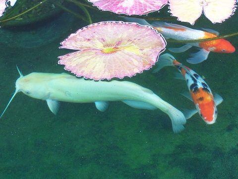 If I Ever Make A Koi Pond, Iu0027m Putting An Albino Channel Catfish