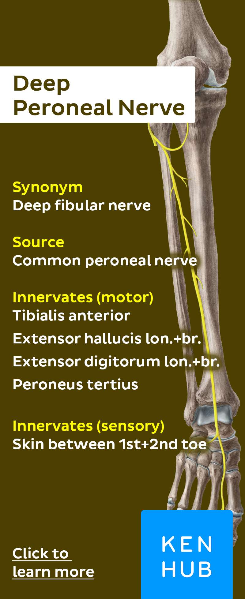 Deep Peroneal nerve | Anatomy, Learning and Medical