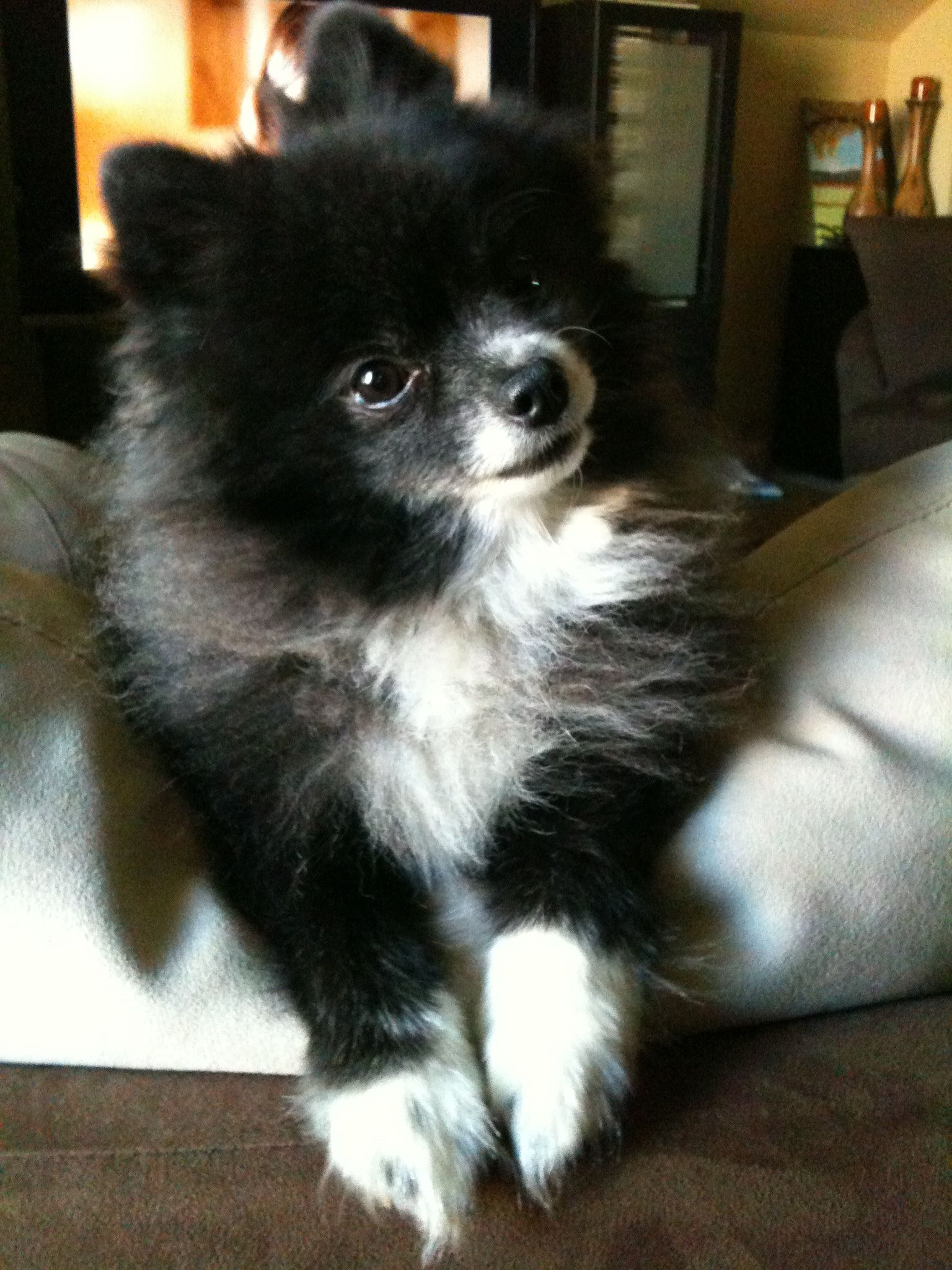 My Pomeranian Yoshi Puppies World Cutest Dog Cute German Shepherd Puppies