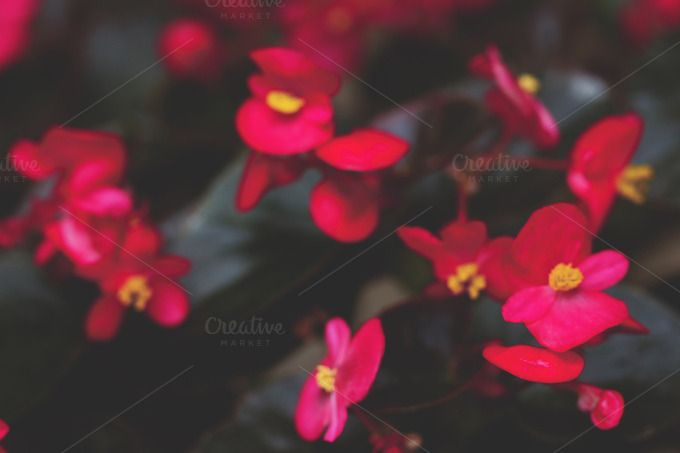Crimson begonia blurred by Maria Dattola Ph. on Creative Market