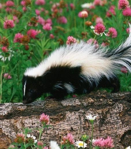 Grafika Animals Skunk Animals Beautiful Getting Rid Of Skunks