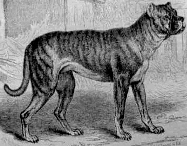 Bullenbeisser The Breed Is Now Extinct Dog Breeds Rare Dog