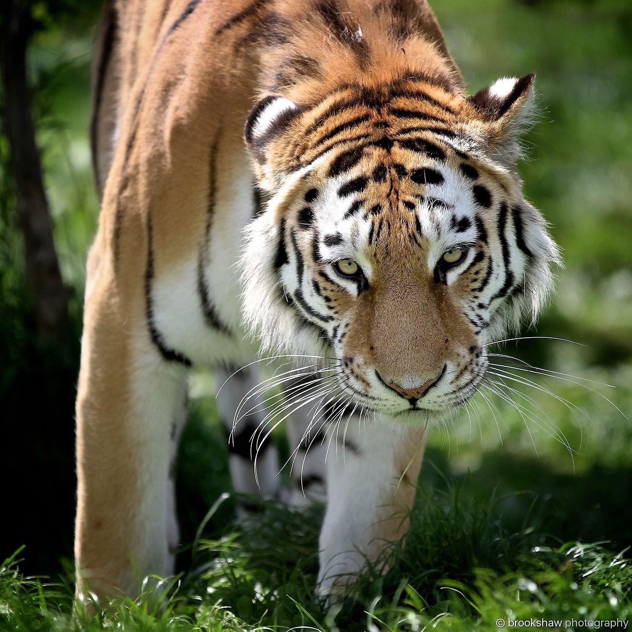 A Beautiful Amur Tiger At Whf Big Cat Sanctuary Brookshaw Photography Cat Sanctuary Big Cats Photography Baby Animals Pictures