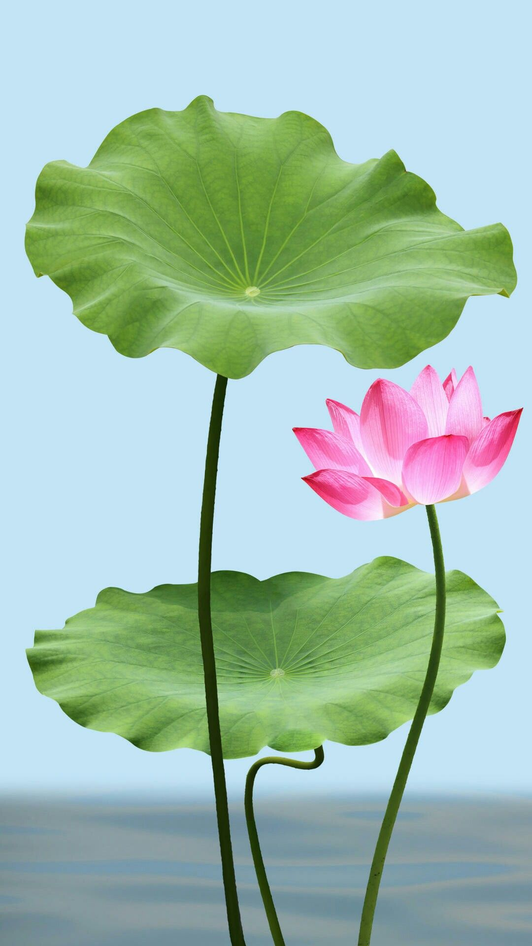 Pin By Samrat On Flowers Pinterest Lotus Flower Pictures And