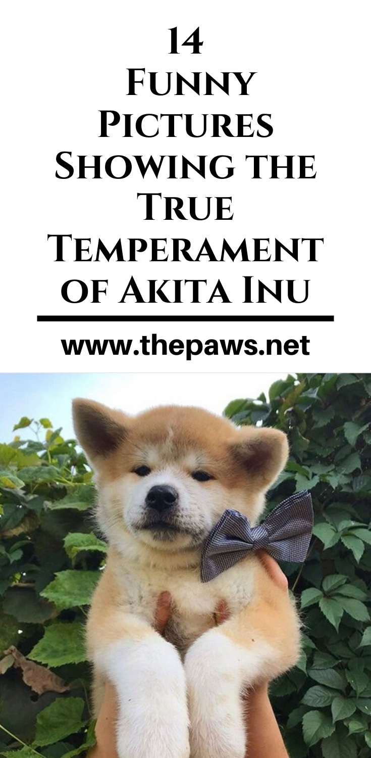 14 Funny Pictures Showing The True Temperament Of Akita Inu In 2020 Akita Akita Puppies Funny Pictures